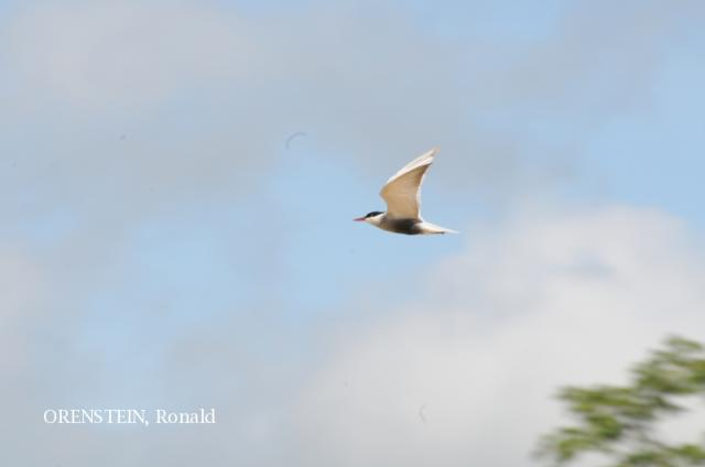 image 5170 of Whiskered Tern