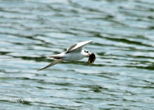 image 7419 of Whiskered Tern