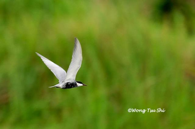 image 4619 of Whiskered Tern