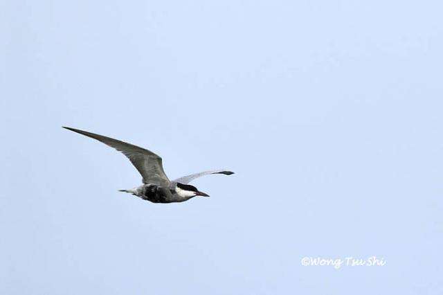 image 4618 of Whiskered Tern