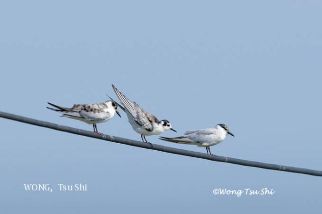 image 6153 of Whiskered Tern
