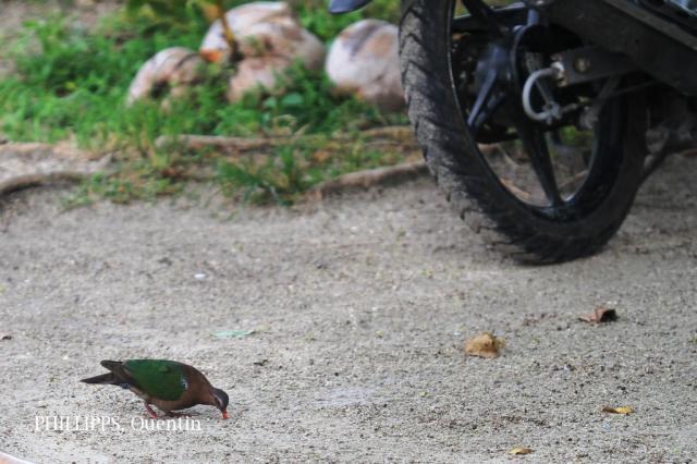 image 7638 of Emerald Dove