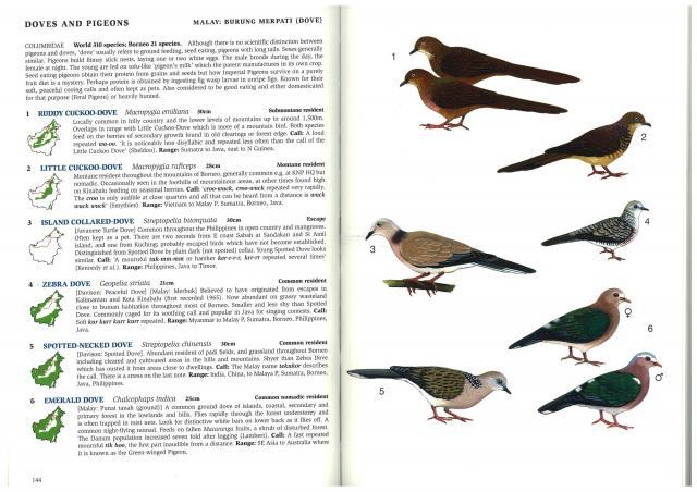 image 2640 of Emerald Dove