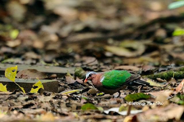 image 1339 of Emerald Dove