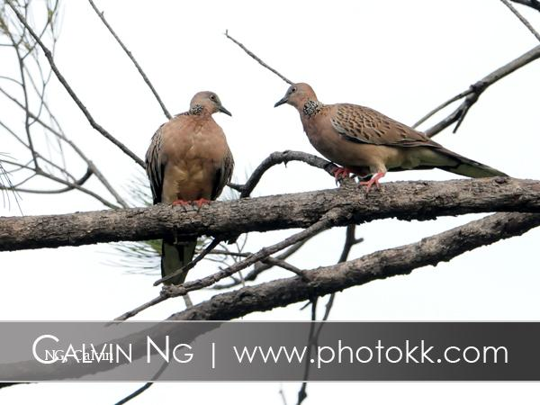 image 5061 of Spotted-necked Dove