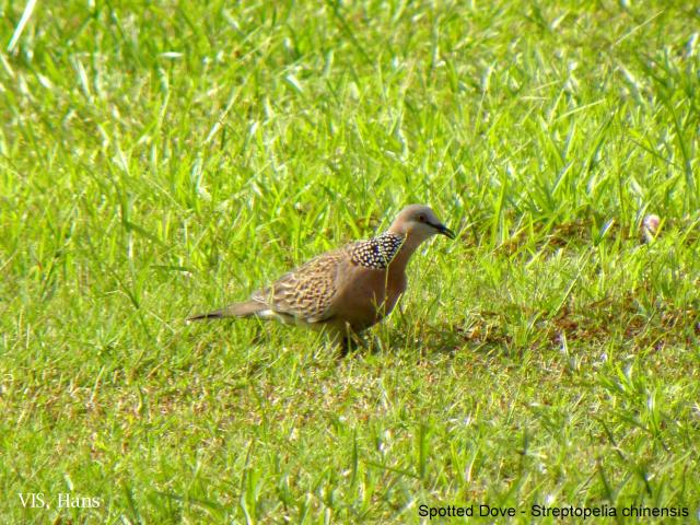image 5585 of Spotted-necked Dove