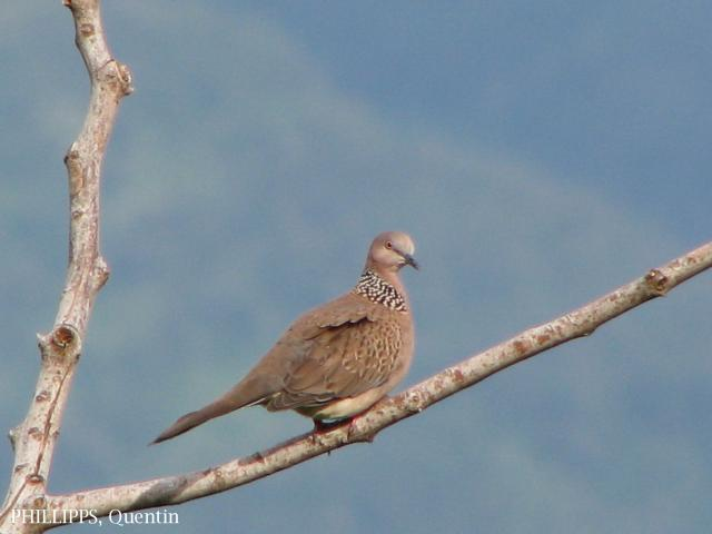 image 3283 of Spotted-necked Dove
