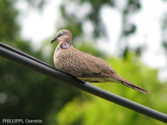 image 3284 of Spotted-necked Dove