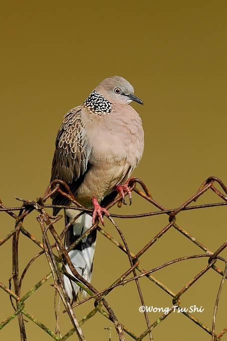 image 538 of Spotted-necked Dove