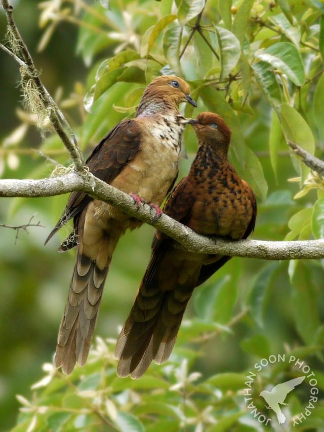 image 6681 of Little Cuckoo Dove