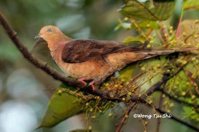 image 607 of Little Cuckoo Dove