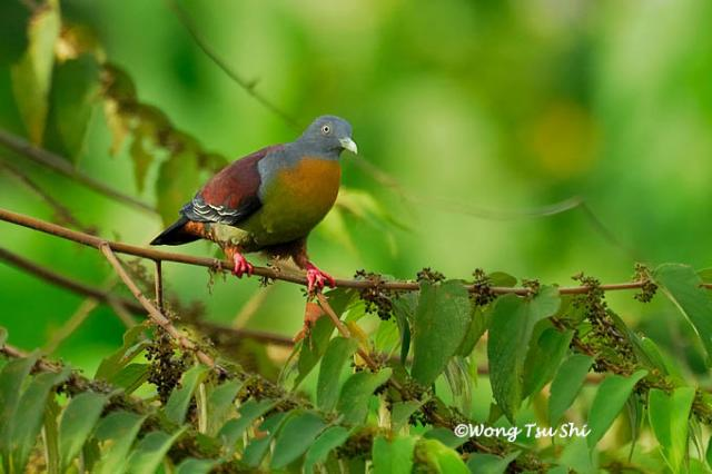 image 414 of Little Green Pigeon