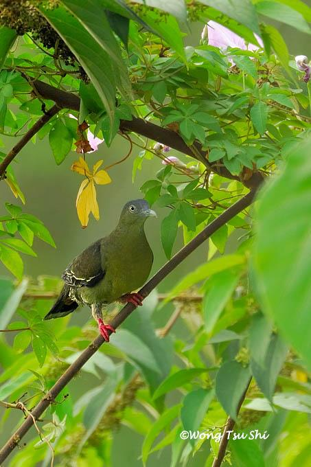 image 380 of Little Green Pigeon