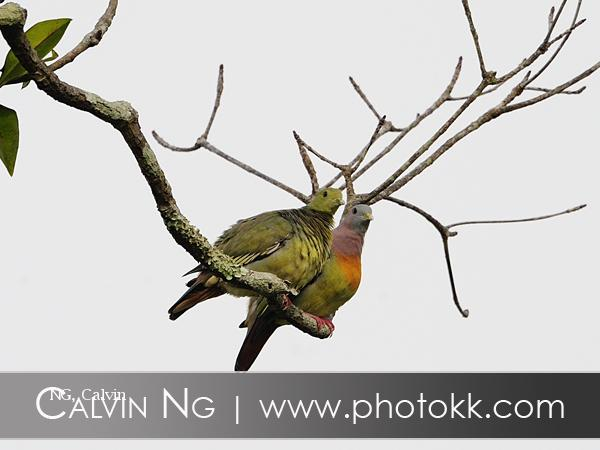 image 5046 of Pink-necked Green Pigeon