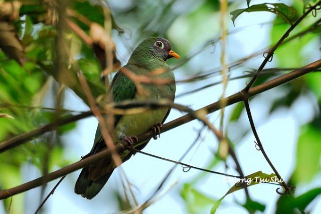 image 416 of Jambu Fruit Dove