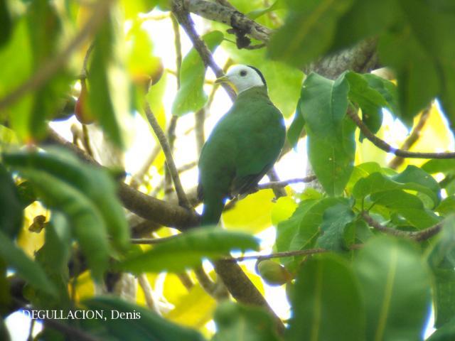 image 5769 of Black-naped Fruit Dove