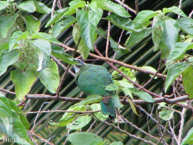 image 1584 of Black-naped Fruit Dove