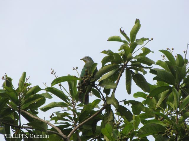 image 1582 of Black-naped Fruit Dove