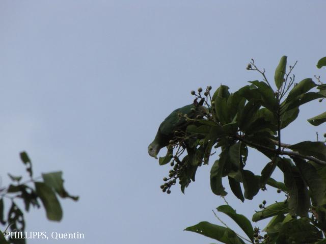 image 1581 of Black-naped Fruit Dove