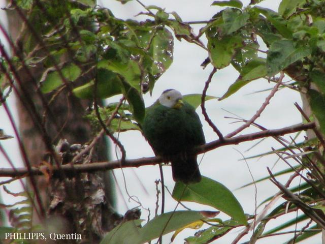 image 1583 of Black-naped Fruit Dove