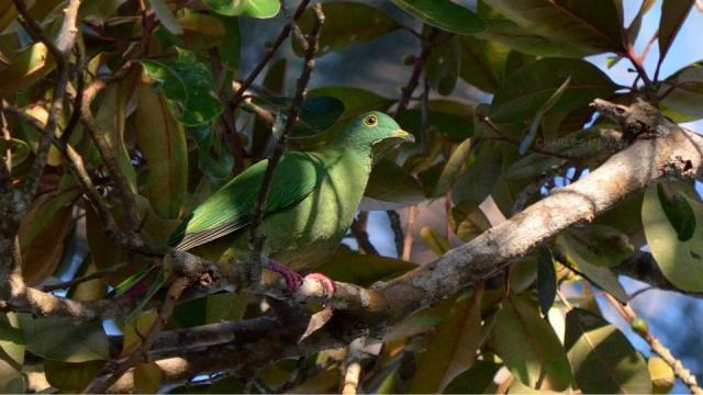 image 6774 of Black-naped Fruit Dove