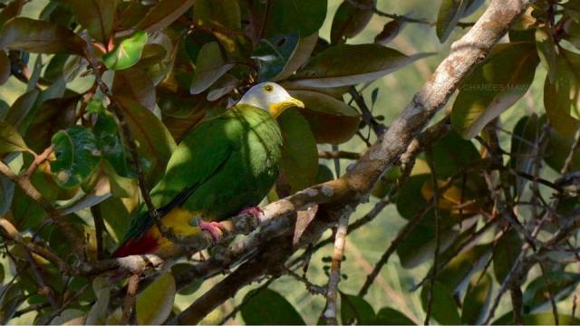 image 6773 of Black-naped Fruit Dove