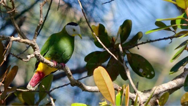 image 6775 of Black-naped Fruit Dove