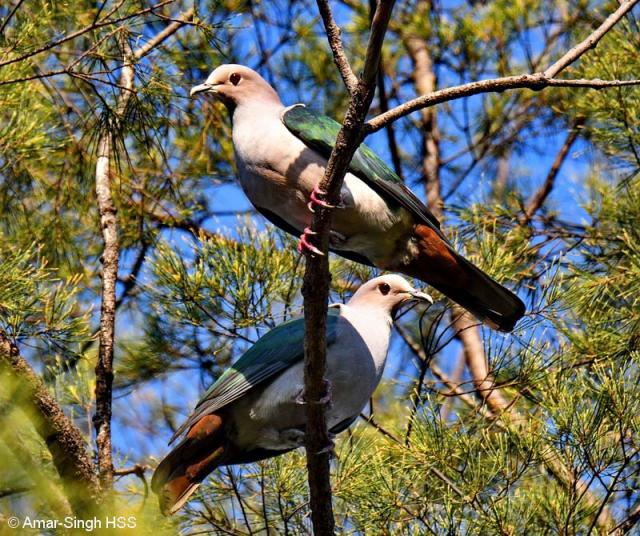 image 8097 of Green Imperial Pigeon
