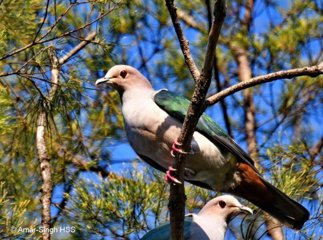 image 8098 of Green Imperial Pigeon