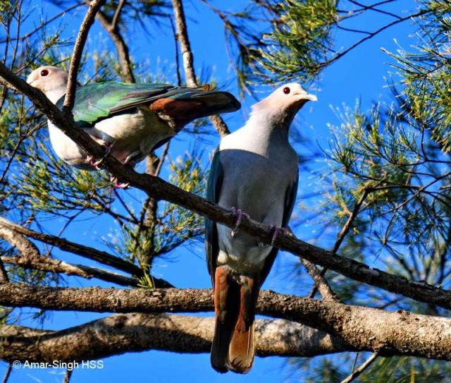 image 8096 of Green Imperial Pigeon