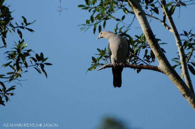 image 6078 of Green Imperial Pigeon