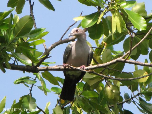 image 1586 of Green Imperial Pigeon