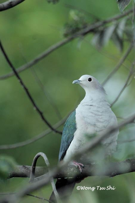 image 752 of Green Imperial Pigeon