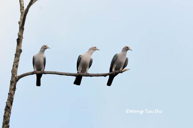 image 868 of Green Imperial Pigeon