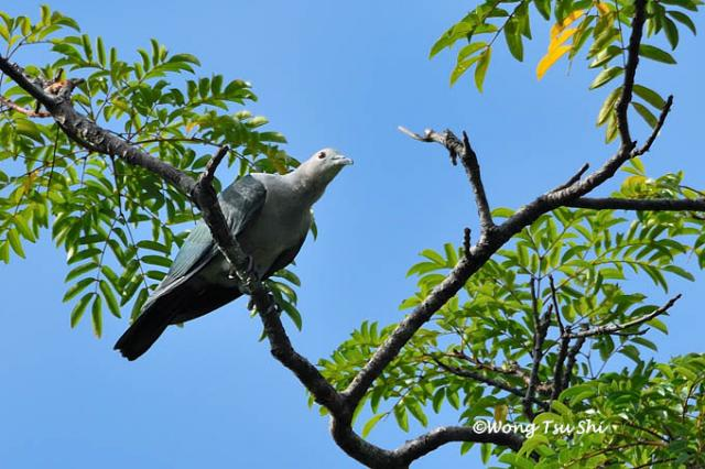 image 383 of Green Imperial Pigeon