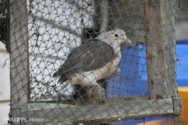 image 5347 of Grey Imperial Pigeon