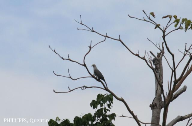 image 5346 of Grey Imperial Pigeon