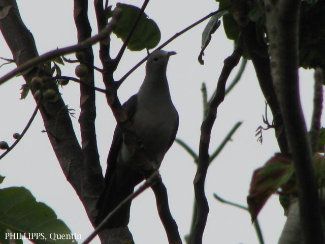 image 1587 of Grey Imperial Pigeon
