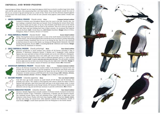 image 2665 of Grey Imperial Pigeon
