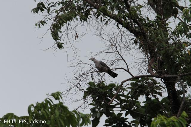 image 5349 of Grey Imperial Pigeon