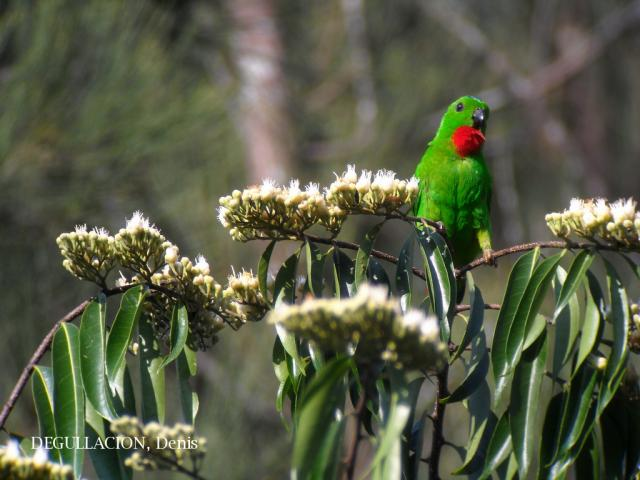 image 5770 of Blue-crowned Hanging Parrot