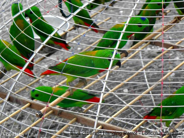 image 5590 of Blue-crowned Hanging Parrot