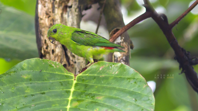image 6675 of Blue-crowned Hanging Parrot