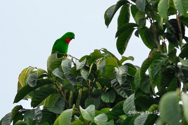 image 492 of Blue-crowned Hanging Parrot