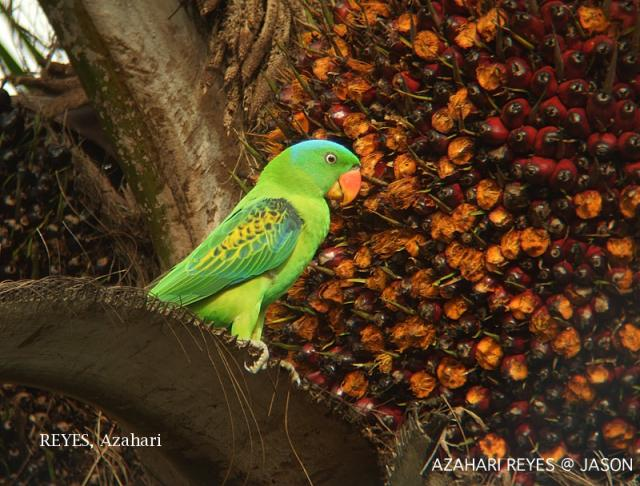 image 3341 of Blue-naped Parrot