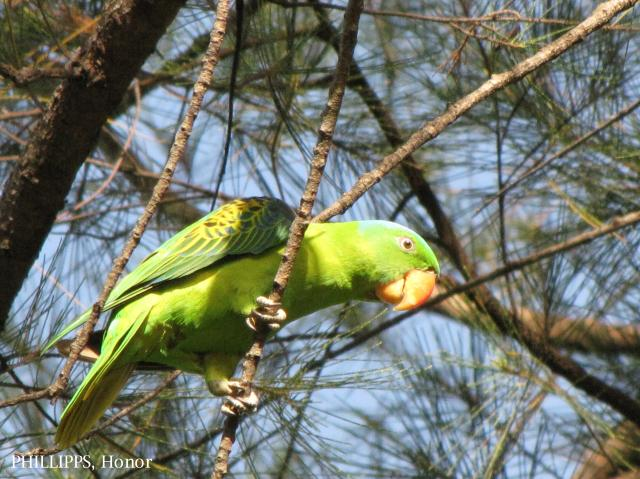 image 1216 of Blue-naped Parrot