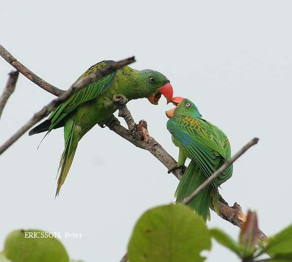 image 2631 of Blue-naped Parrot
