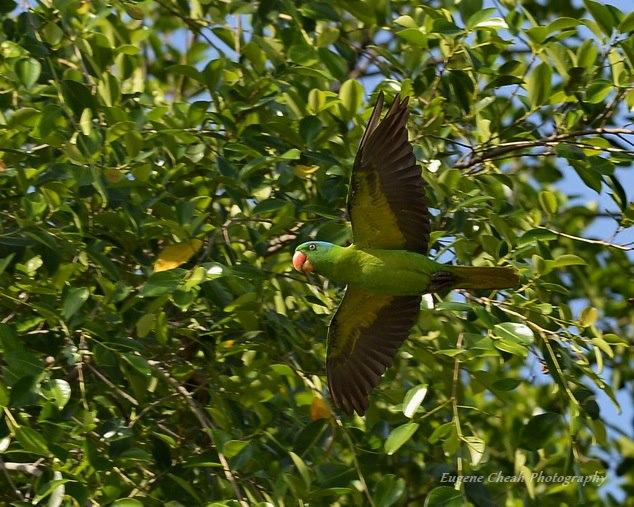 image 6826 of Blue-naped Parrot