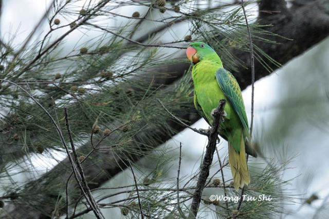 image 872 of Blue-naped Parrot