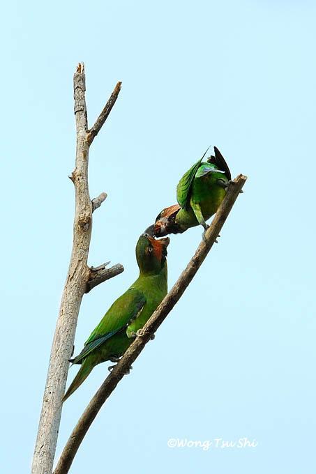 image 449 of Long-tailed Parakeet